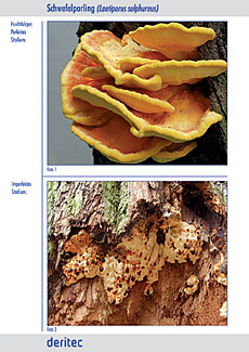 Fit for Fungi für draußen Beispielseite 2, Detailfotos